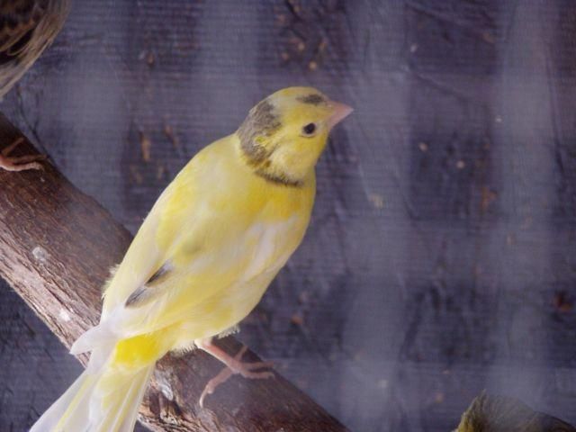 Beautiful singing canary for sale