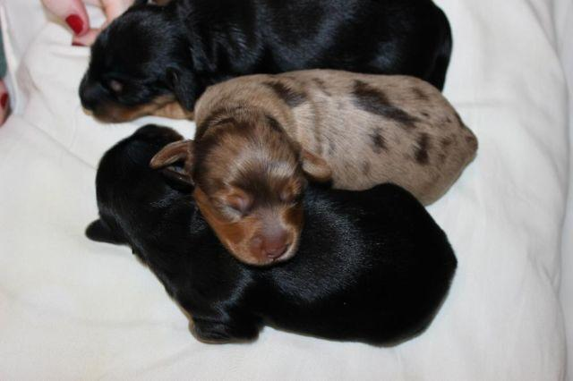 Dorkie(Yorkie/Miniature Dachshund) Puppies for Sale! for