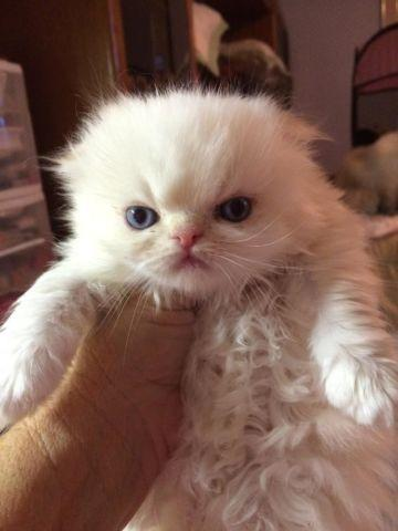 Scottish fold kittens for sale for Sale in Davie, Florida Classified