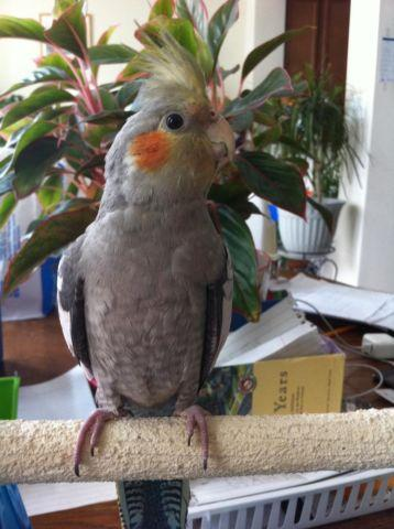Baby Grey Cockatiel FOR SALE for Sale in Clarksburg, Maryland