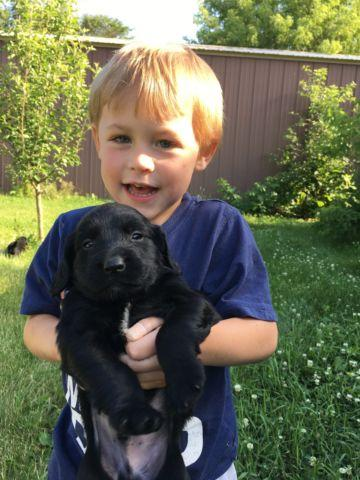 Labradinger puppies for sale for Sale in Alden, Wisconsin