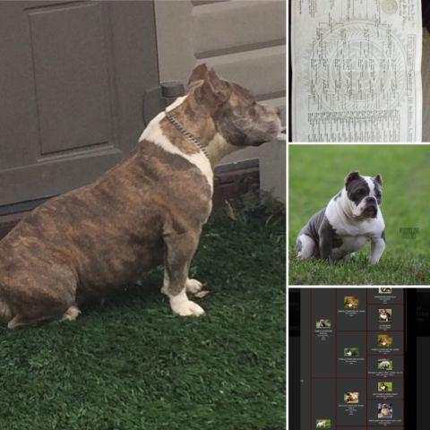 American Bully Pups for Sale