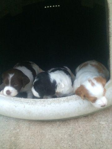American Brittany Puppies for Sale