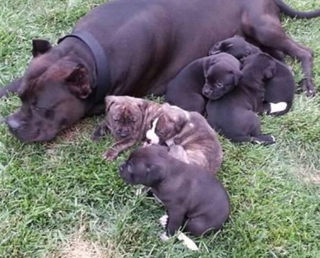 American Pitbull Terrier Puppies for sale Great Papers!!!!