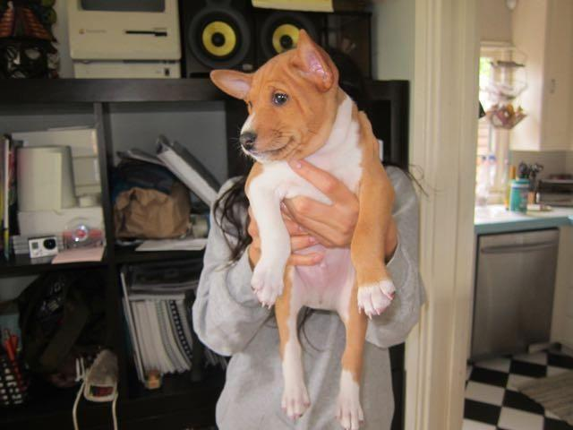 Red Male Basenji Puppy For Sale Red Dog For Sale In Los Angeles