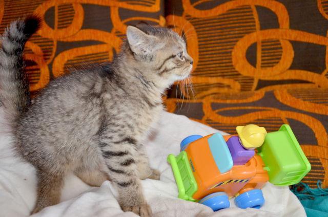 Gorgeous Scottish Straight kitten for sale. Ref: Albert05122016