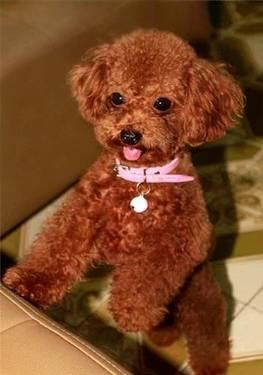 teacup puppy for sale in riverside dog breeds picture
