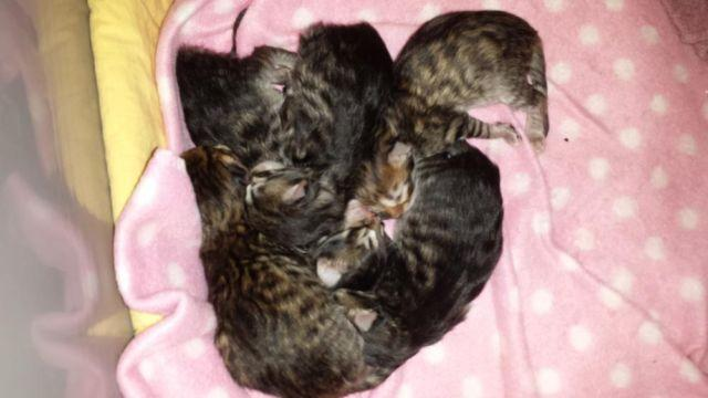 two hymalian female kitten for sell-5 weeks