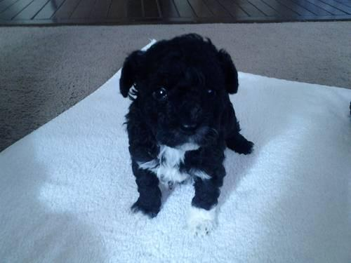 Black Male Toy Poodle for your sweetheart!