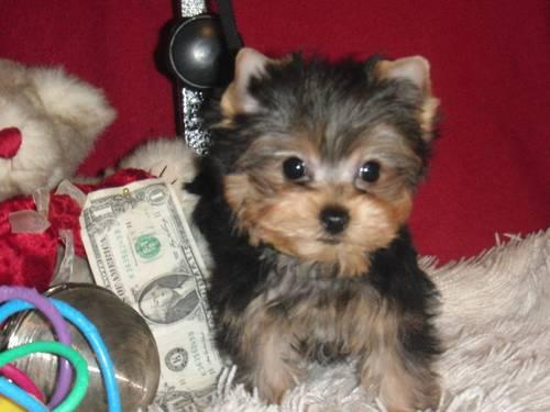 Yorkie-AKC TINY male for your Valentine