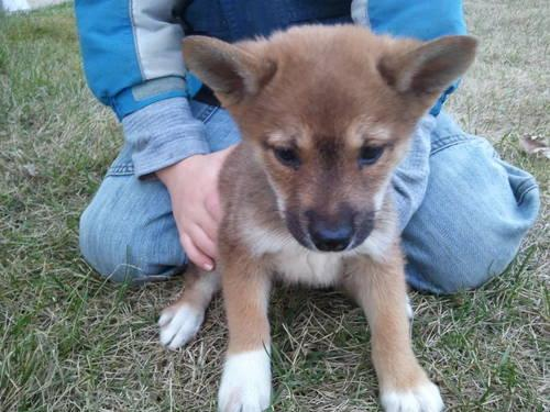 Shiba Inu * Beautiful FOX like puppies.