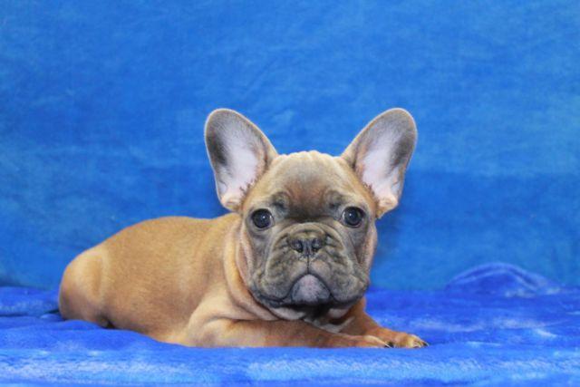 Beautiful Mini Blue French Bulldog- Bejumin