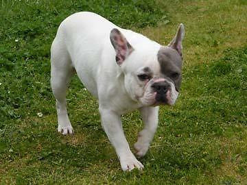 Blue and White Pied French Bulldog Male