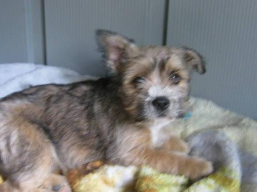 French bulldog yorkie mix - photo#1
