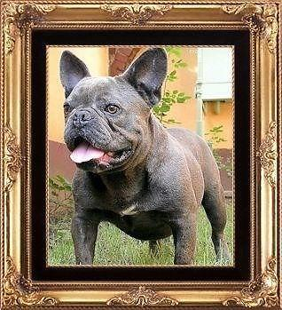 HEALTHY IMPORT BLUE FRENCH BULLDOGS!!