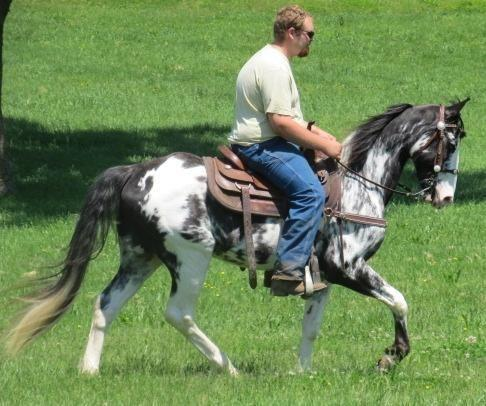 Handsome Gaited Gelding