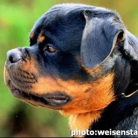 Rottweiler puppies German imports for Sale in Staunton