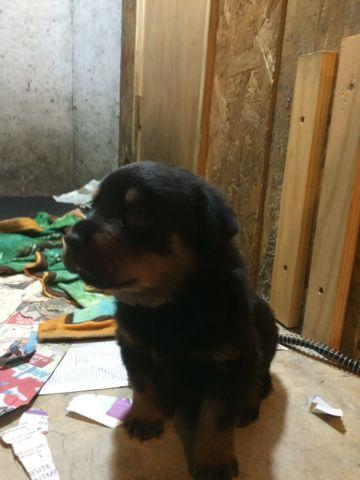 Huge Beautiful Akc German Rottweiler Puppies For Sale In Elgin