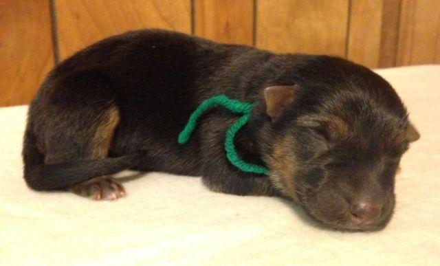 Double registered nkc&ckc German Shepherd puppies