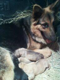 Wolf German Shepherd Puppies Sale
