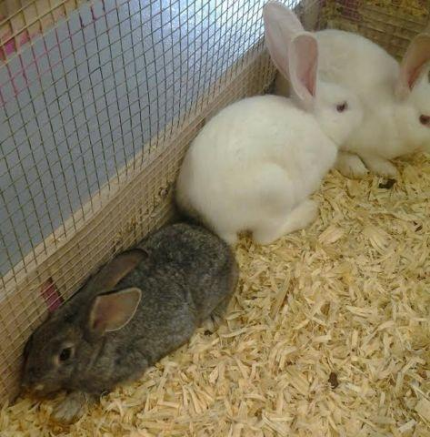 Sweet Flemish Giant Bunnies For Sale In Glendon North