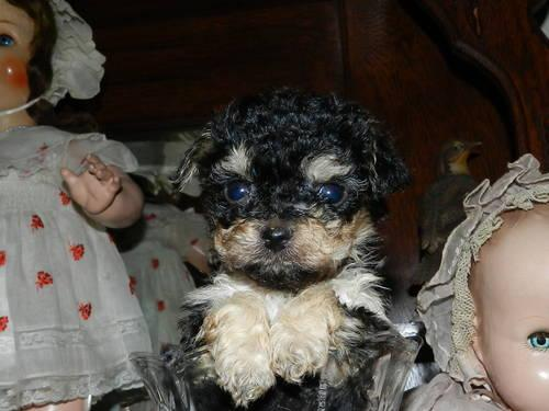 Teacup Yorkie Poo Girl Babies For Sale In Nacogdoches Texas