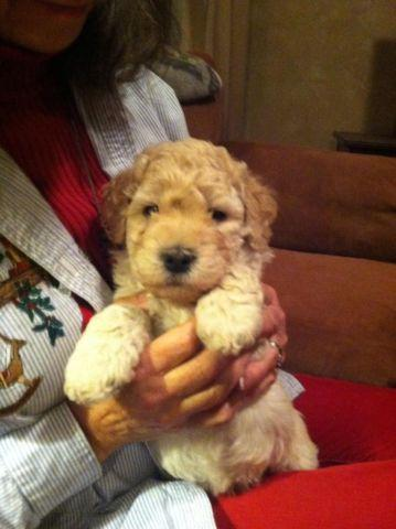 Adorable hypoallergenic mini-Whoodles ready to go after Jan 7, 2015