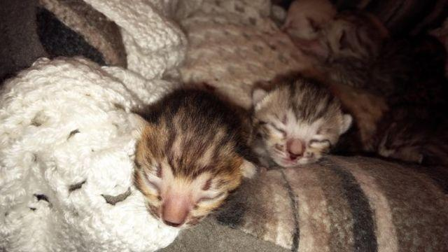 Bengal Babies Ready to go Thanksgiving--Only 3 left