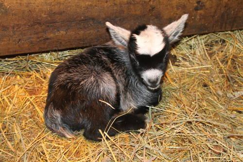Baby Pygmy Goats For Sale In Three Rivers Michigan