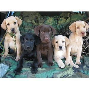 GOLDADOR PUPPIES (Lab & Golden Retriever Mix)