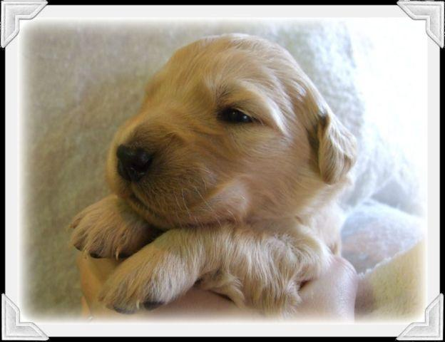 Gorgeous English Cream / Golden Retriever Puppies for Sale in