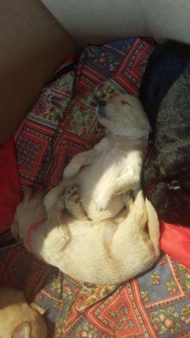 Akc English lineage golden retriever puppies