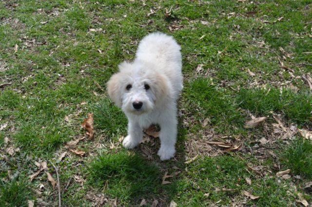 Wonderful F1B,Mini,Parti, Goldendoodle- 4months  for Sale in