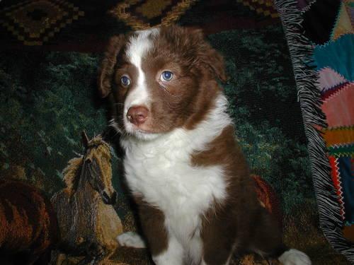 Australian Chesadoodle (Labradoodle, Goldendoodle) Puppies