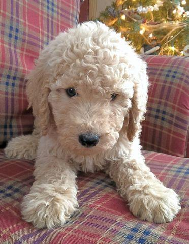 Absolutely Adorable 2nd Generation Goldendoodle puppies~ 8 weeks