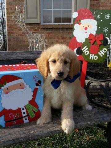Only 2 left! Micro Mini Goldendoodle Puppies! Christmas