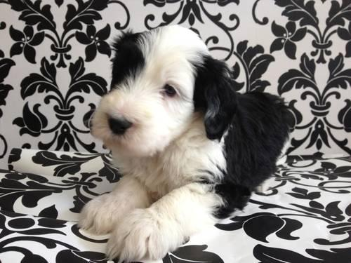 Sheepadoodle Puppies! Gorgeous!! for Sale in Broad Bottom, Kentucky