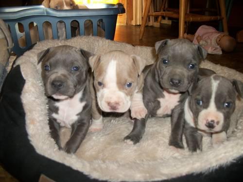 Cute CKC Pitbull Puppies Gotty and Razoredge