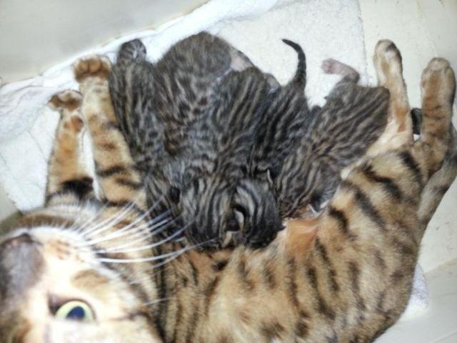 How much are purebred bengal kittens