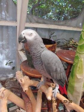 Trade African Gray