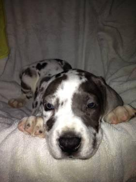 CKC Registered Female Harelquin Great Dane Pup