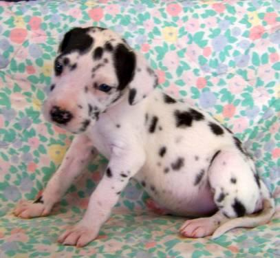 AKC Harlequin Female Great Dane Puppy