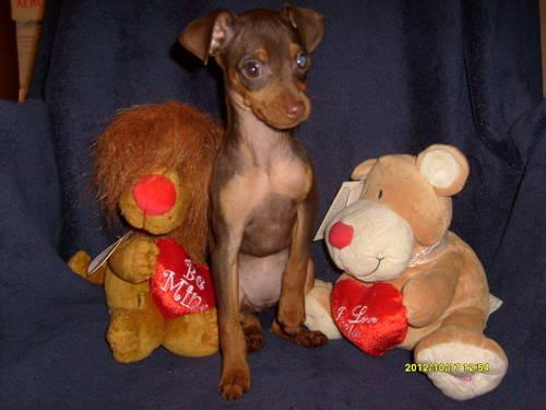 Miniature Pinscher Puppies AKC ** GREAT VALENTINES DAY GIFT**