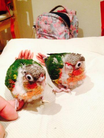 BABY PARROT *** Yellow sided Green Cheek Conure ***** for