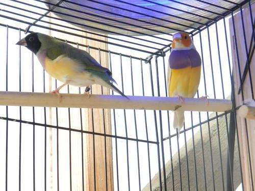 Gouldian Finch pairs and singles. Green, yellow & Blue