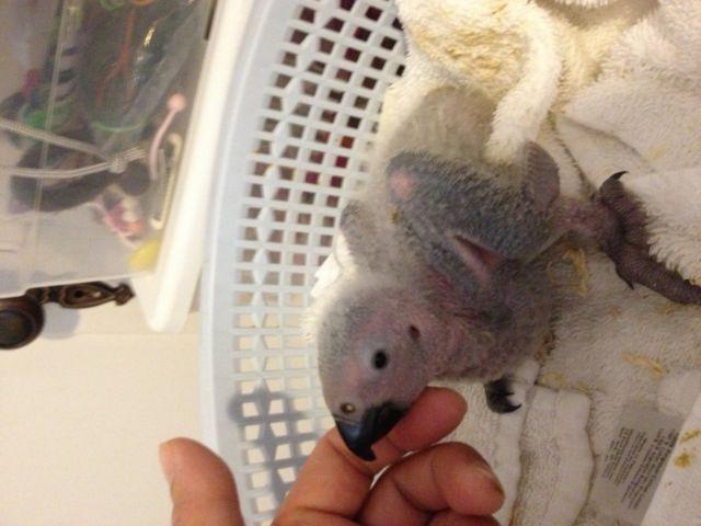 Handfed baby African grey (bird parrot)