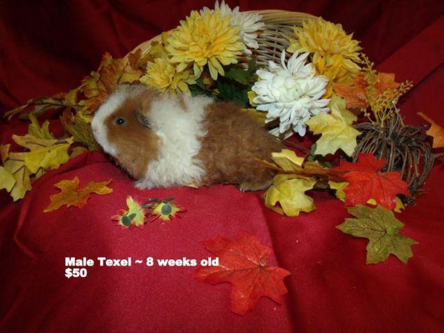 ISO peruvian guinea pig