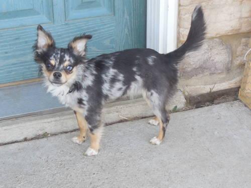 Blue Merle Long Hair Chihuahua