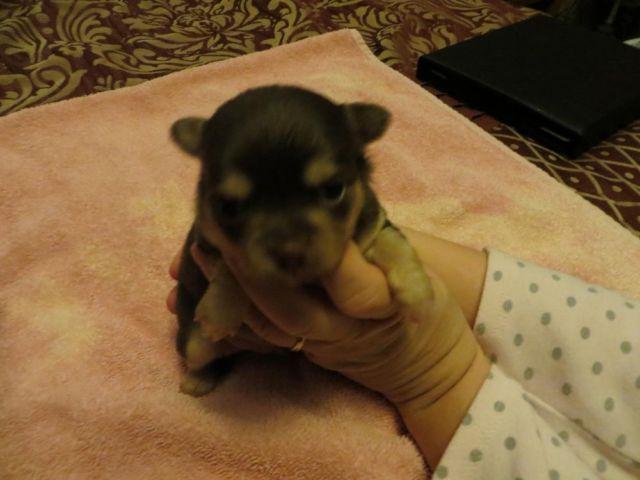 ADORABLE Chocolate Long Hair Chihuahua Puppies