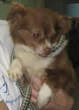 Looking for Long Hair Chihuahua STUD